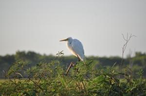 15-07-08 Yellow Waters, Heron 2