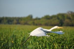 15-07-08 Yellow Waters, Heron 3